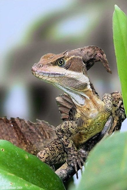 """Brown Basilisk or Striped Basilisk (Basiliscus vittatus; in some areas referred to as """"common basilisk"""") is one species of basilisk lizard. They are native to Mexico, Central America and adjacent northwestern Colombia, but have been introduced into the U.S. state of Florida as a feral species."""
