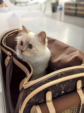 Karl Lagerfeld's cat Choupette lives the high life