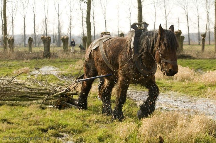 Brabants Trekpaard Nauurbeheer Paarden Grote Grazers Zoogdieren Gewervelden Dieren Milieu