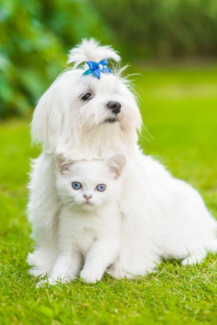 Maltese Puppy Hugging Chinchilla Cat On Green Gras Maltese Puppy Hugging Chin Maltese Dogs Maltese Puppy Puppies