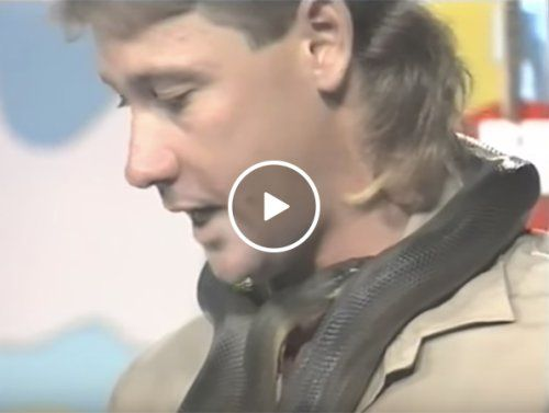 When youre Steve Irwin and a snake bites you on live TV you play it cool (Video)