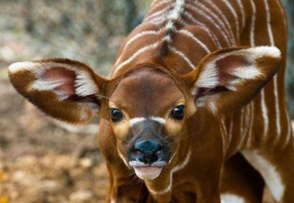 zebra deer | Assorted Animals | Pinterest