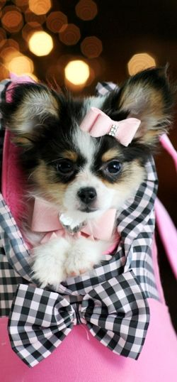 Papillon puppy - sooo friggin adorable! !!