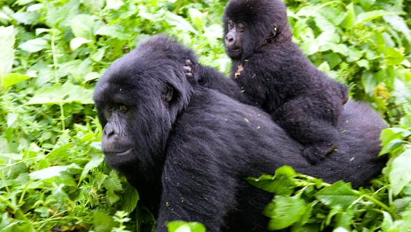 A baby mountain gorilla rides on its mother's back on the slopes of Mount Mikeno in the Virunga National Park, Africa's oldest national park, in Congo.