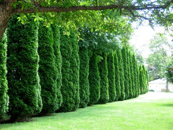 58 best cedar arborvitae hedges images on pinterest for Evergreen climbing plants for privacy
