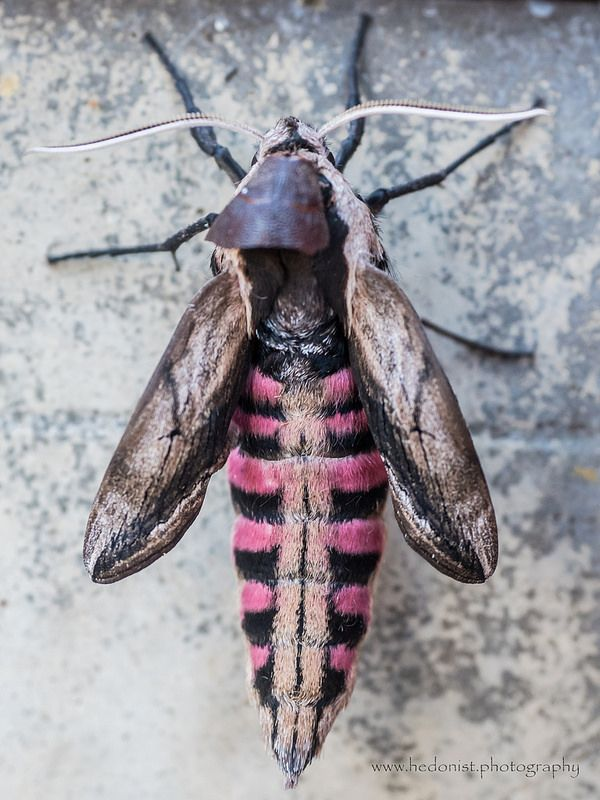 Privet hawk moth | by Hedonist.Photography