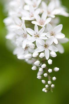 .la pureté du blanc et cette cascade de grappe de fleurs