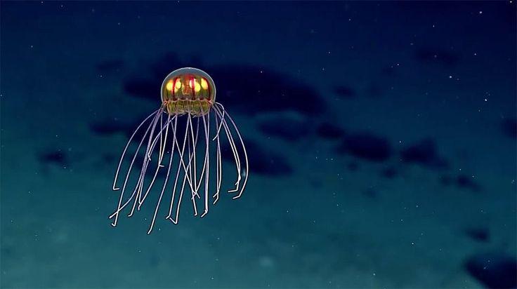 La vida en las profundidades del océano siempre resulta sorprendente. La fauna abisal llega a tomar formas realmente llamativas. Pero una medusa como la de la imagen superior parece más producto del photoshop que de la evolución. Y sin embargo, es real.