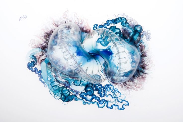 Deadly Beauty: Portuguese Man-of-War | National Geographic