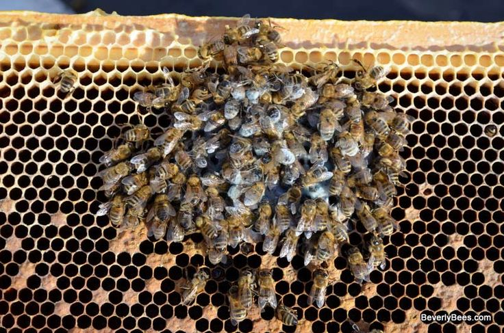 How to Autopsy a Honey Bee Colony So your hive died, now what do you do? The first thing to do after you discover a dead hive is to autopsy the honey bee c ...