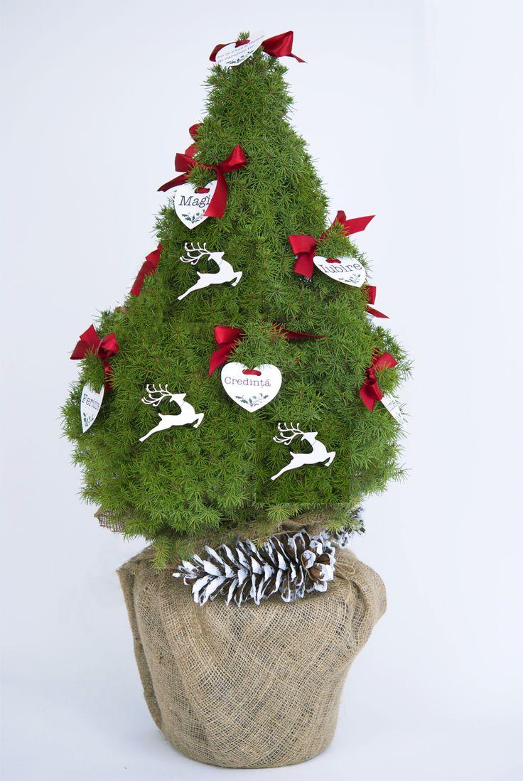 Christmas table arrangement with evergreen plants #conifers #pottedplants #christmaspot #christmasdecoration #christmasplants #christmastree #christmastabletree #christmasdecor #Christmasplantgift #braziinghiveci #bradcadou #planteCraciun #plantecadou #aranjamentCraciun #bradCraciun #bradmicut #molid #piceaglaucaconica