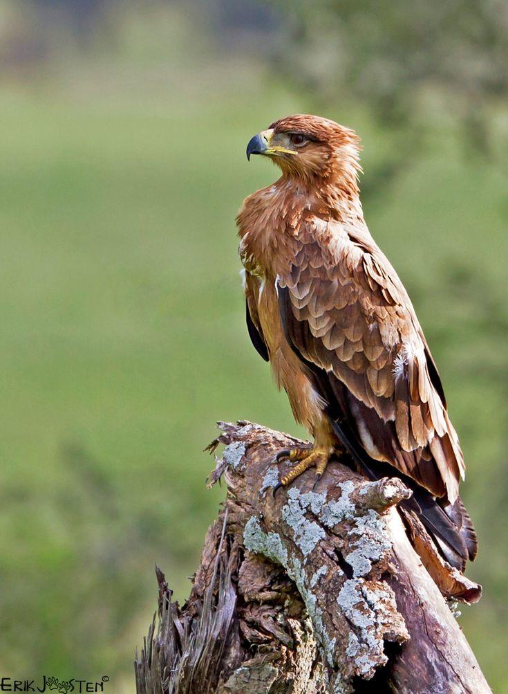 Tawny Eagle (gemaakt in Serengeti)