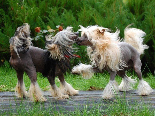 Https Pagez Com 3532 33 Facts About Dogs Chinese Crested