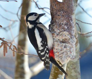 Flaggspett hunn Fuglevennen - Din naturkontakt - Fugler ved foringsplassen
