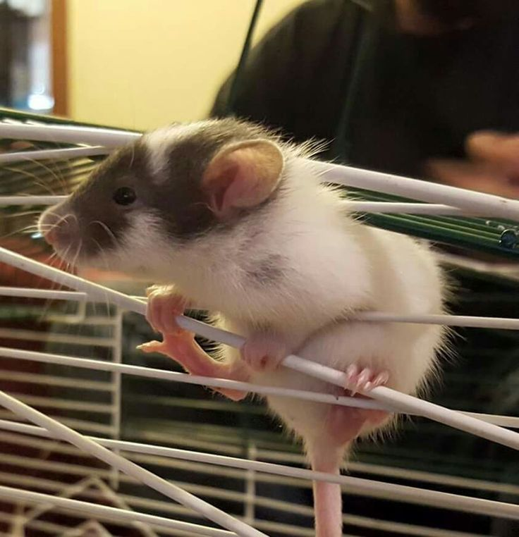 Escape rat