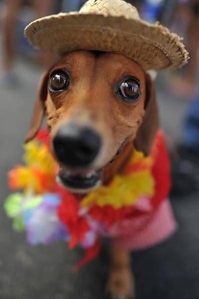 """Dogs in Rio Carnival (3): Dogs in costumes participate in the """"Blocão"""" on Copacabana Beach (Rio de Janeiro)."""