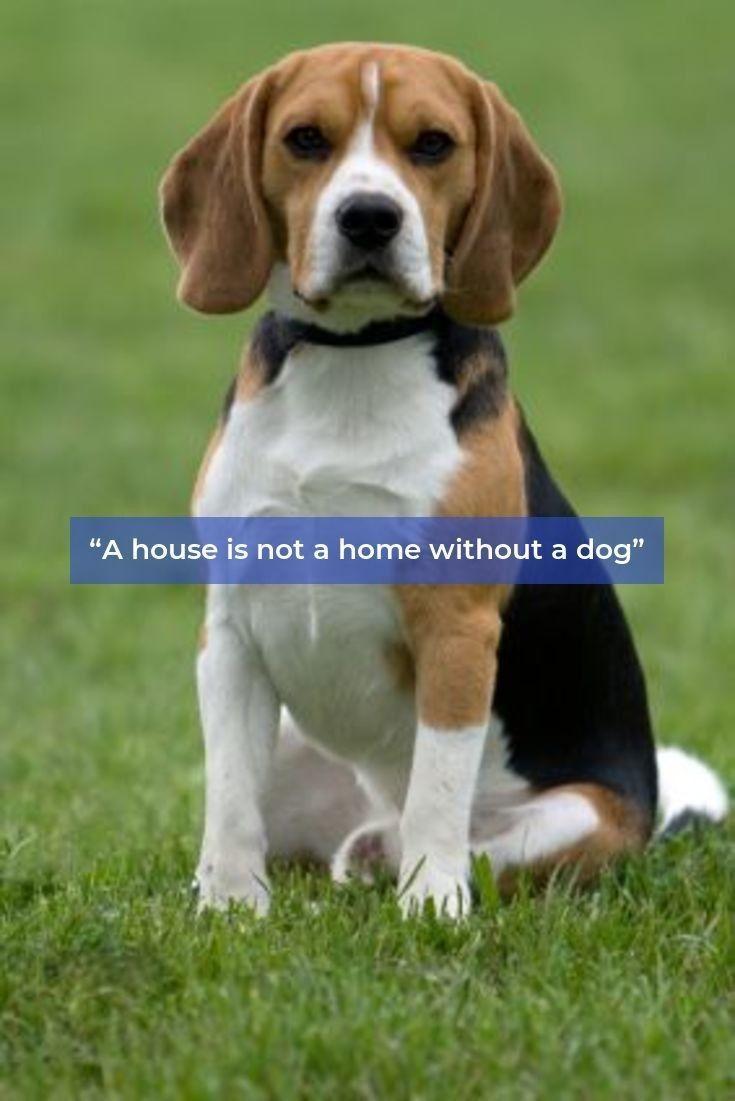 Beagles Forever Beaglesdaily Beagles Puppy Beagle Beagle Puppy