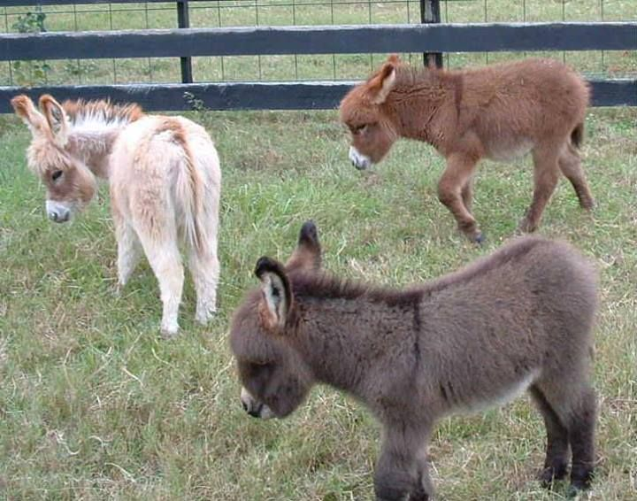 All colors.     Courtesy: Satroma Ranch Miniature Donkeys, Texas (USA).  I want them all!