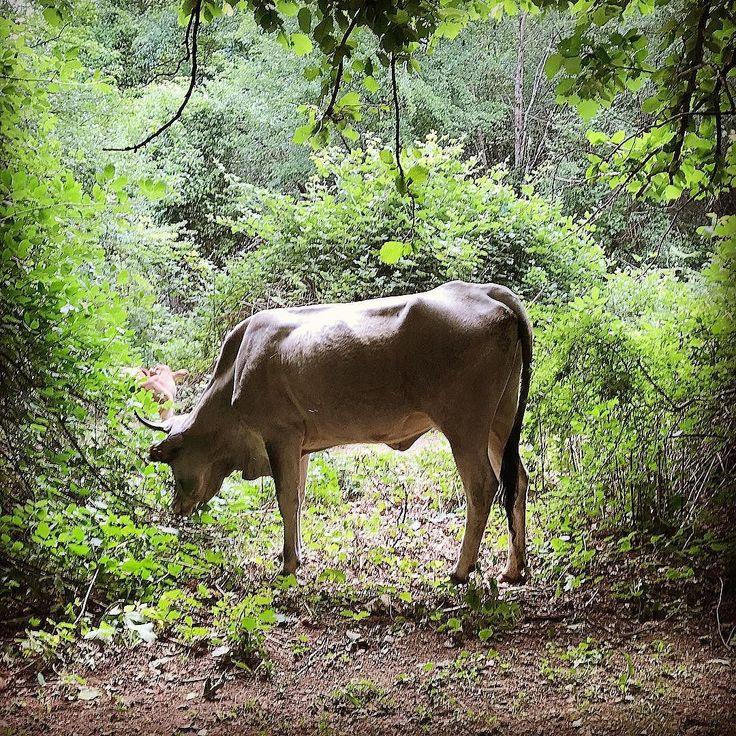 #nature #lives #free at #serino #campania #italy #sunday #mountains #green #summer #cow #naturelovers #naturephotography #nationalgeographic #natura #twitter #tree #countryside #landscape #still #photooftheday #photographyislife