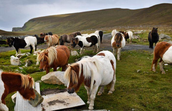 Op dit Schotse eiland wonen meer pony's dan mensen