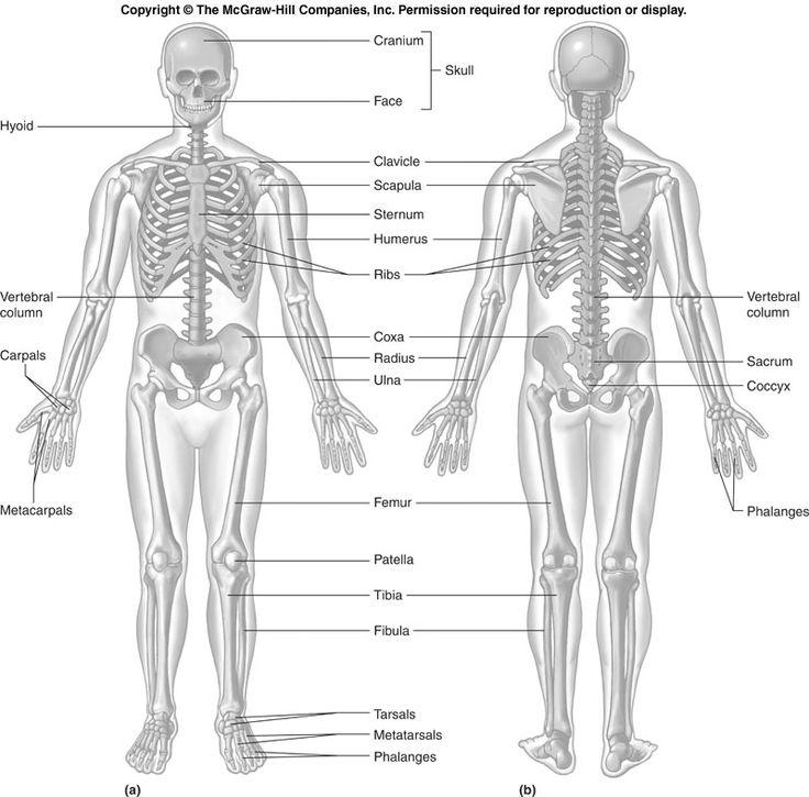 Human Skeleton Bones. Bone Markings Humerus and Femur