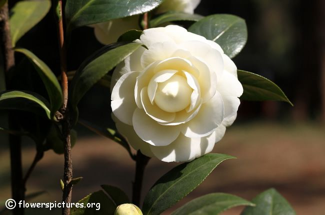 The 145 best camellia blooms images on pinterest camellia white camellia flower mightylinksfo