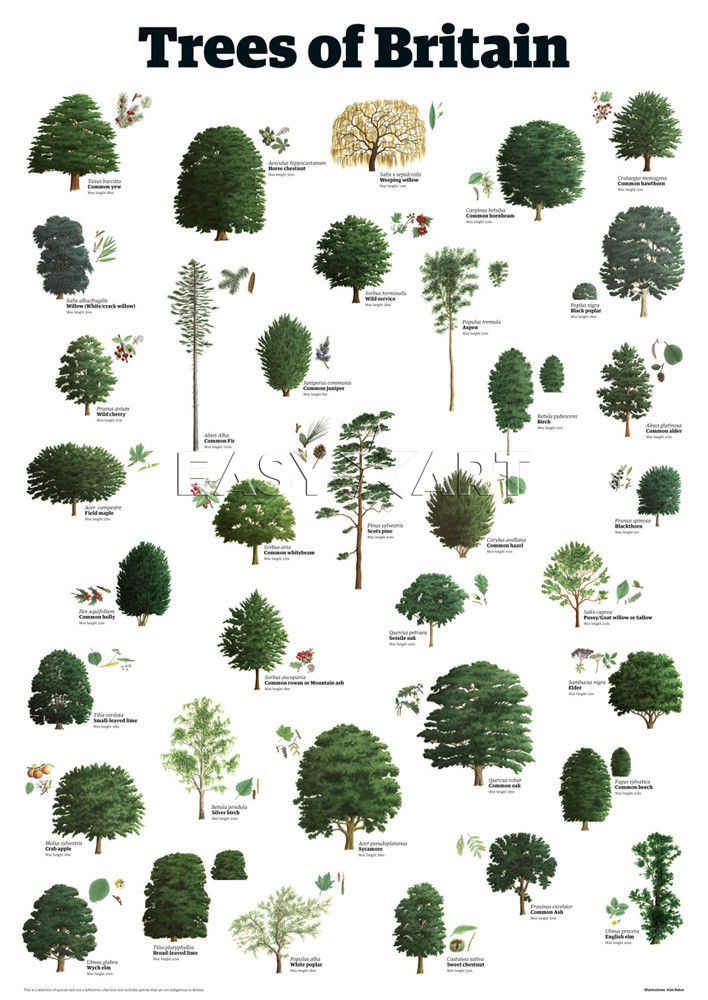 Trees of britain trees leaves pinterest for Different types of plants and trees