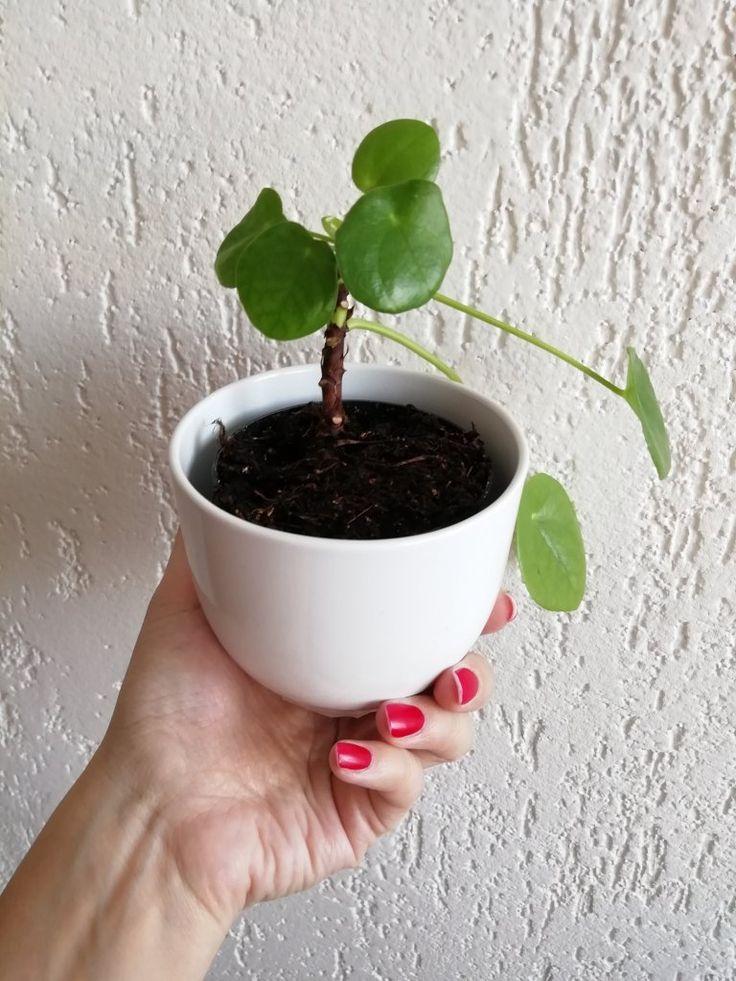 Jak pěstoval pileu? Stylová příbuzná kopřivy ozdobí váš byt – Záhrada