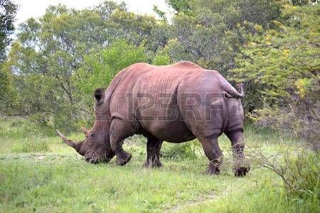 rhino: White Rhino