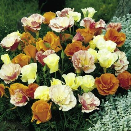 """Suttons Beginners Californian Poppy """"Tropical Punch"""" Seeds: Image 3"""