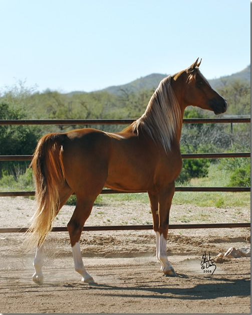 1000+ images about Sabino Pinto Arabians on Pinterest ...