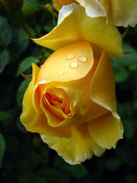 The Yellow Rose of Texas. Historically, Emily D. West is thought to be the legend behind the original rose...నా దోస్త్ కి ఇవి చాలా ఇష్టం, కదరా దోస్త్ :D