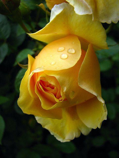 Elegant yellowBeautiful Flower, Rose Gardens, Rose Flower, Colors, Dew Drop, Raindrop, Yellow Roses, Beautiful Rose, Rain Drop