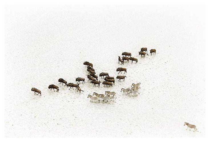 zebra and wildebeest aerial print-