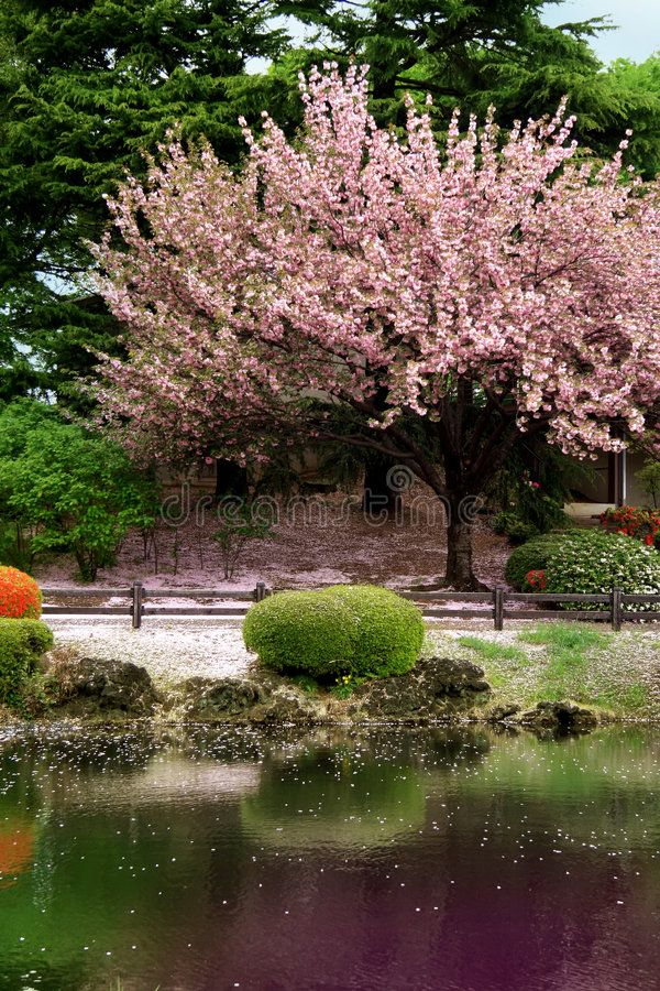 Great Clear Cherry Blossom Tree On A Lake In Japan Tokyo S Garden Affiliate Cherry Blossom Great C Cherry Blossom Tree Blossom Trees Cherry Blossom