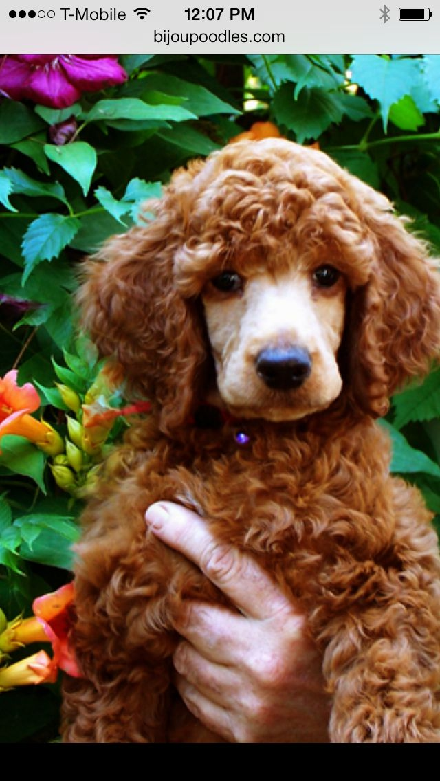 Baby red boy from bijou Standard Poodles