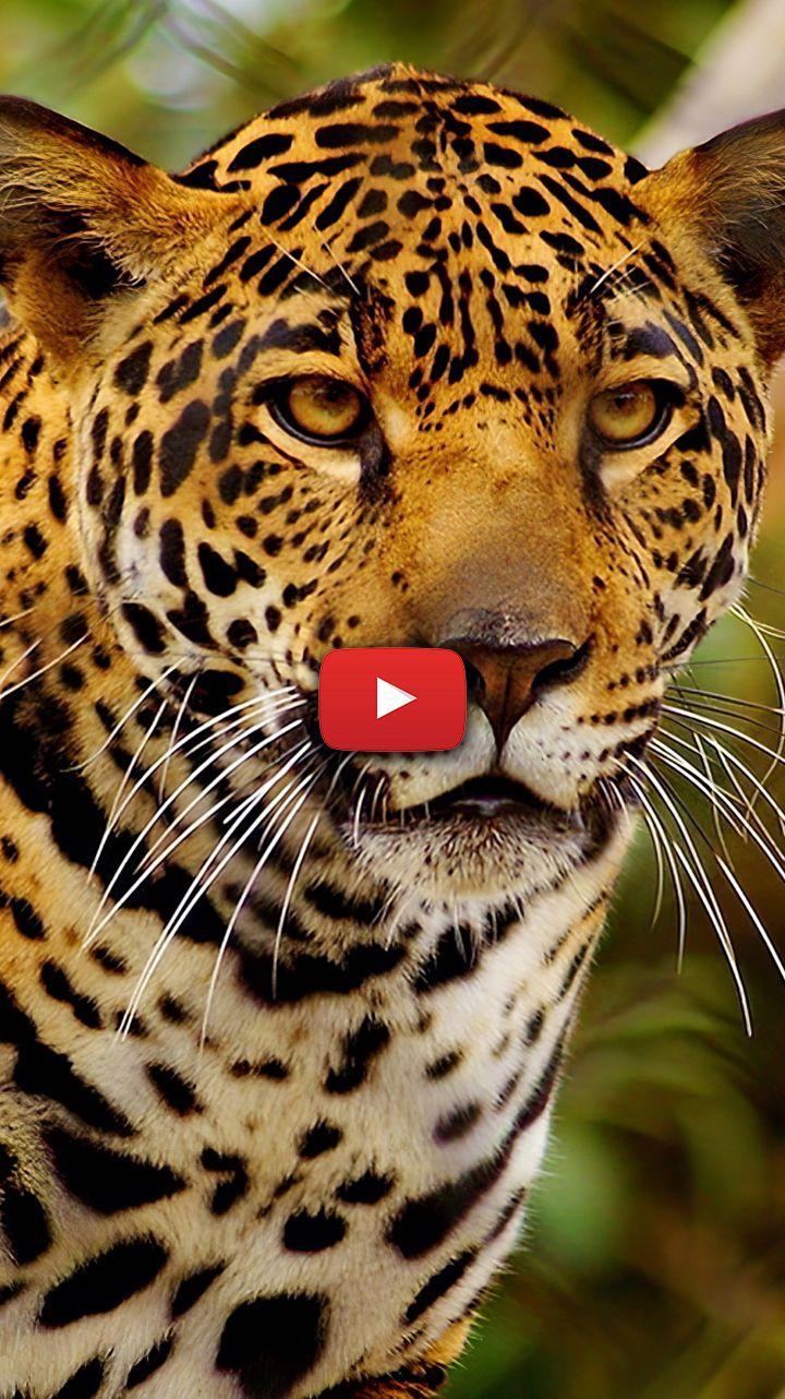 Cheetah Wallpaper Animal Cheetah Wallpaper Backgrounds Jaguar Wallpaper Animal Leopards Jaguar Wallpaper Cheetah Background Leopard Wallpaper