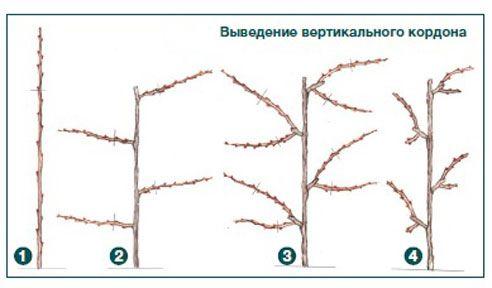 Вертикальный кордон винограда для беседки