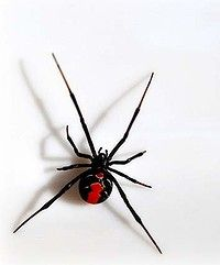 """the infamous Red Back Spider....  """"There was a Red Back on the toilet seat when I was there  last night""""......."""