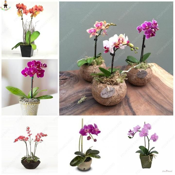 Brand Name Youpangpang Full Bloom Period Spring Type Succulent Plant Applicable Constellation Leo Flowerpot Excluded Cultivati Bonsai Flower Flower Pots Plants