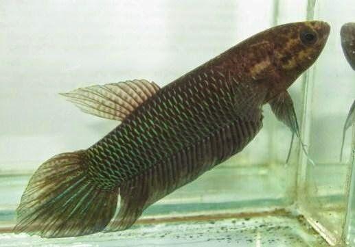 Jenis Ikan Hias Aquarium Air Tawar Ikan Betta - http://www.seputarikan.com/2015/10/jenis-ikan-hias-aquarium-air-tawar-ikan.html