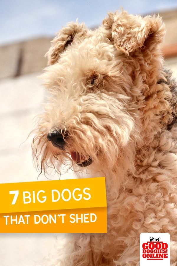 Large Dog Breeds That Don T Shed In 2020 Big Dogs Dog Breeds Large Dog Breeds