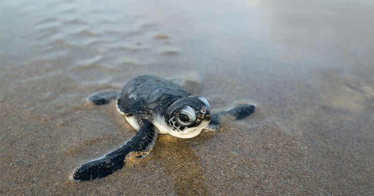 Kickstart the season with the Museum of North Carolina's Turtle Talk in Ocean Isle Beach, NC... and then join one of the weekly turtle talks, Monday afternoons at 3:30pm - 4:30pm! Everyone loves turtles!!