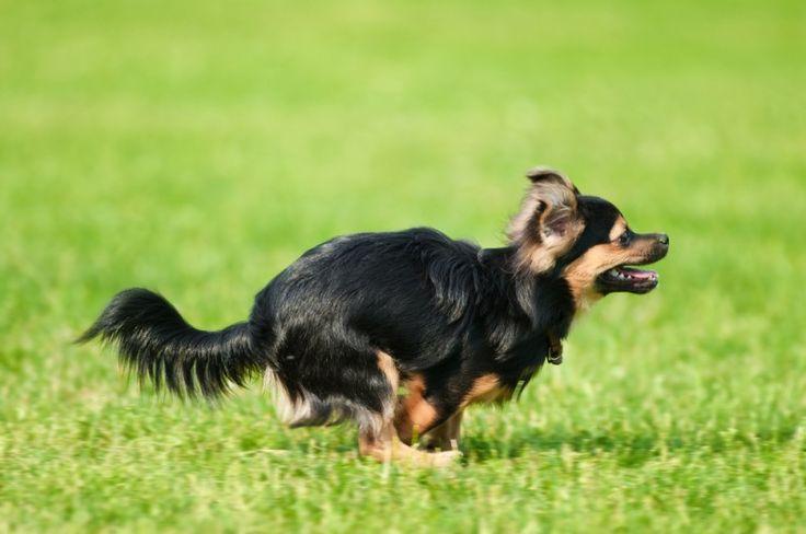 Schnell wie der Wind: Ein Chihuahua-Hund in Fahrt — Bild: Shutterstock / gillmar    www.einfachtierisch.de