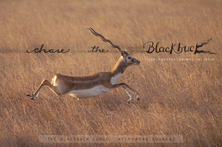 Chase the Blackbuck