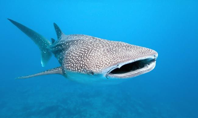 Whale sharks at Exmouth and Ningaloo Reefs Australia