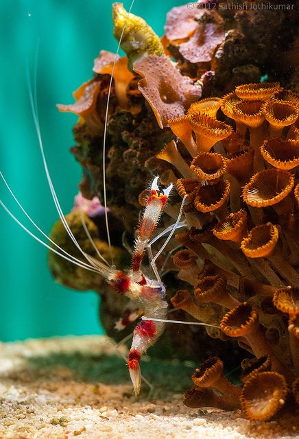 Waterworld by satosphere on Flickr. Coral reef and shrimp!
