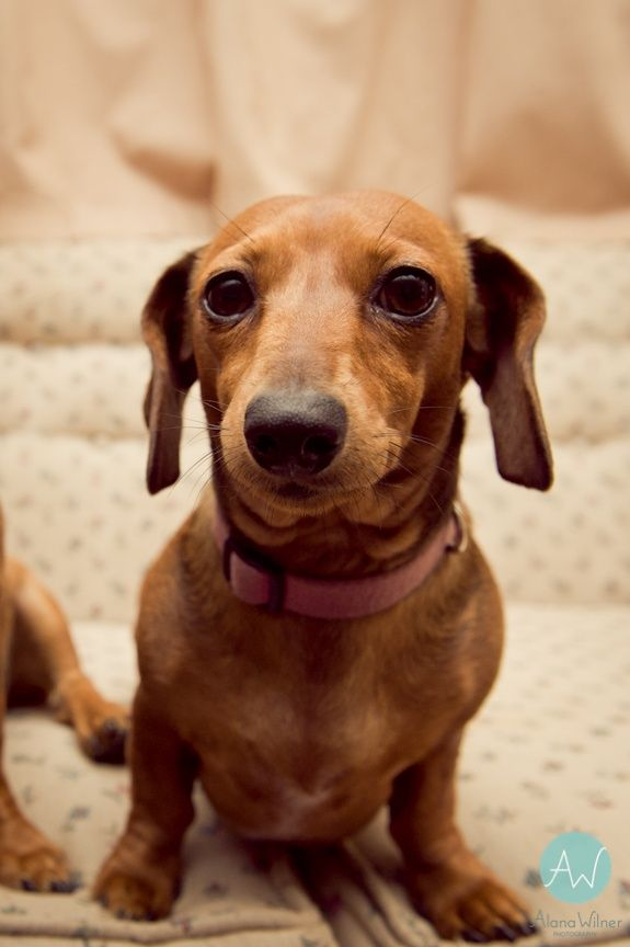 Mini Dachshund Dachshund Mom Weiner Dog Red Dachshund