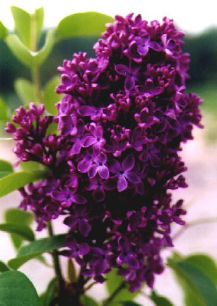Deep purple lilacs. Oh, I wish this was scratch-n-sniff...