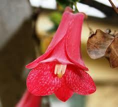 Copihue, flor nacional de Chile.